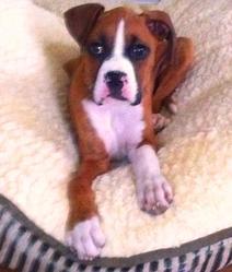 Buck, chien Boxer