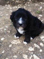 Buckley, chien