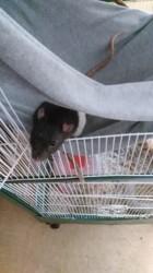 Bucky, rongeur Rat