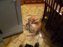 Bucky, chien Labrador Retriever