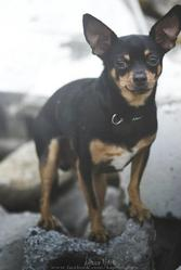 Bud, chien Chihuahua