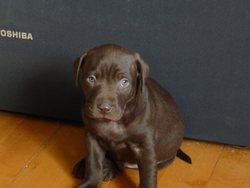Bud, chien Labrador Retriever