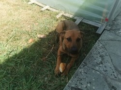 Bud, chien Jack Russell Terrier