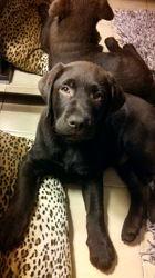 Buda, chien Labrador Retriever
