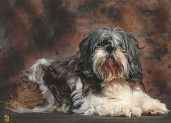 Buddy, chien Shih Tzu