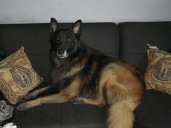 Buddy, chien Berger belge