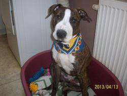 Buddy, chien American Staffordshire Terrier
