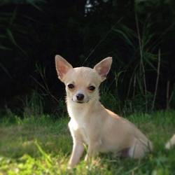 Buddy, chien Chihuahua