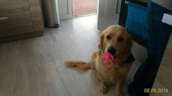 Buddy, chien Golden Retriever