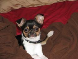Budweiser, chien Chihuahua