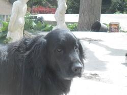Budy, chien Golden Retriever