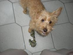 Buffy, chien Basset fauve de Bretagne
