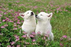 Buffy Et Biskit, chien Labrador Retriever