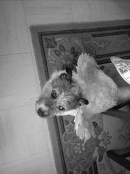 Buggy, chien Jack Russell Terrier