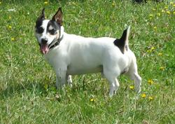 Bugsy, chien Jack Russell Terrier