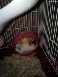 Bulbul, rongeur Hamster