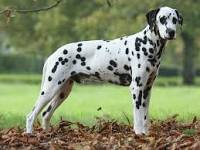 Buldog, chien Dalmatien