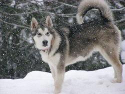 Buliwyf, chien Malamute de l'Alaska