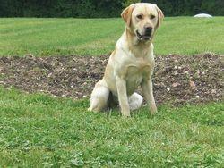 Bull, chien Labrador Retriever