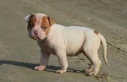 Bull, chien Bulldog