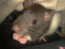 Bulle, rongeur Rat