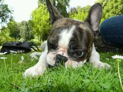 Bulle, chien Bouledogue français