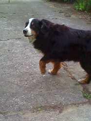 Bulle, chien Bouvier bernois