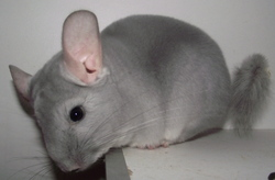 Bulle, rongeur Chinchilla