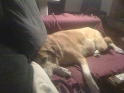 Bulle, chien Berger d'Anatolie