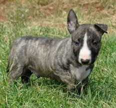 Bulle, chien Bull Terrier