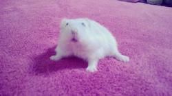 Bulle, rongeur Hamster