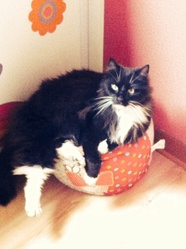 Bulle, chat