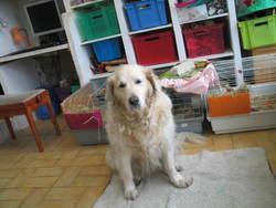 Bulle, chien Golden Retriever