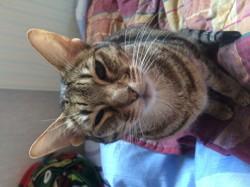 Bulle, chat Ocicat