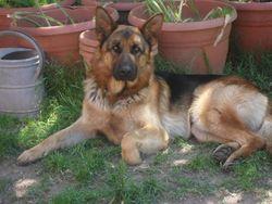 Bullit, chien Berger allemand