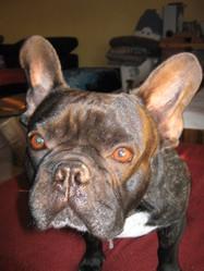 Bullit, chien Bouledogue français