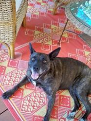Bully, chien Bouvier d'Australie