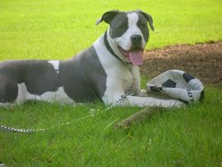 Bundy, chien American Staffordshire Terrier