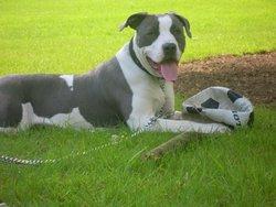 Bundy, chien American Staffordshire Terrier