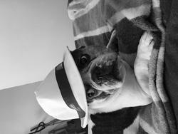 Bunguy, chien Bouledogue français