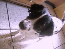 Bunny, chien Épagneul breton