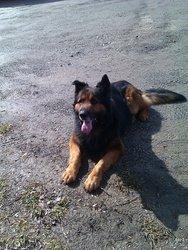 Burton, chien Berger allemand