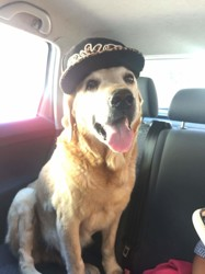 Buster, chien Labrador Retriever