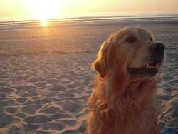 Buster, chien Golden Retriever