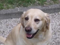 Butch, chien Labrador Retriever