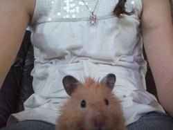 Butter Schotch, rongeur Hamster