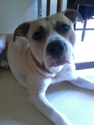 Buzz, chien American Staffordshire Terrier