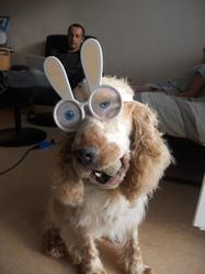 Buzz, chien Cocker anglais