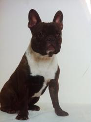 Buzz, chien Bouledogue français
