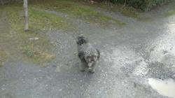 Buzz, chien Caniche